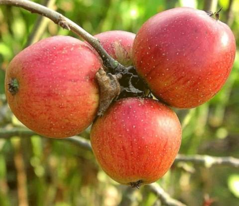 Яблоня домашняя Беркутовское