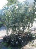 Саженцы и плодовые крупномерные деревья Яблоня домашняя Беркутовское