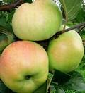 Плодовые крупномеры и саженцы Яблоня домашняя Богатырь