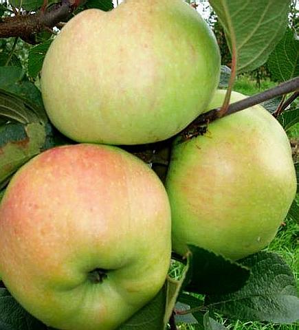 Яблоня домашняя Богатырь
