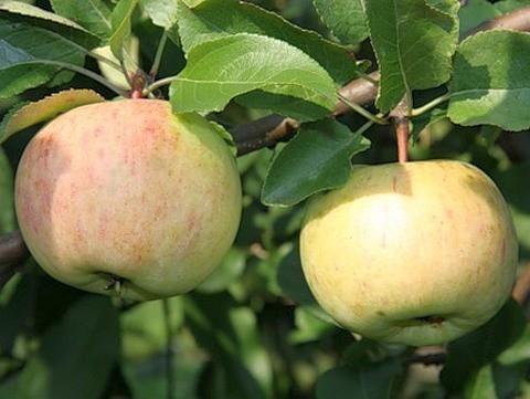 Яблоня домашняя Болотовское