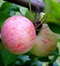Посадка плодовых саженцев и крупномеров