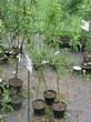Саженцы и плодовые крупномерные деревья Яблоня домашняя Грушовка московская