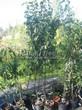 Саженцы и плодовые крупномерные деревья Яблоня домашняя Кандиль орловский