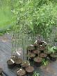 Саженцы и плодовые крупномерные деревья Яблоня домашняя Конфетное