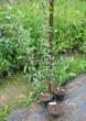 Саженцы и плодовые крупномерные деревья Яблоня домашняя Коричное полосатое