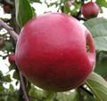 Плодовые крупномеры и саженцы Яблоня домашняя Красное раннее