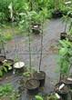 Саженцы и плодовые крупномерные деревья Яблоня домашняя Красное раннее
