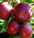 Плодовые крупномеры и саженцы Яблоня домашняя Лобо