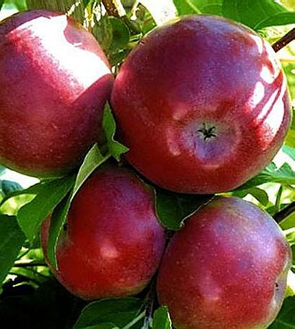 Яблоня домашняя Лобо
