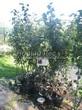 Саженцы и плодовые крупномерные деревья Яблоня домашняя Лобо