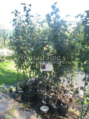 Саженцы плодового дерева Яблоня домашняя Лобо в нашем питомнике Сады Ясногорья (Тульская область, Ясногорский район)