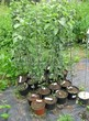 Саженцы и плодовые крупномерные деревья Яблоня домашняя Мантет