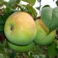 Плодовые крупномеры и саженцы Яблоня домашняя Мартовское