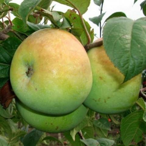 Яблоня домашняя Мартовское