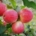 Плодовые крупномеры и саженцы Яблоня домашняя Мечта