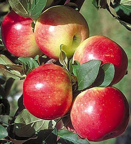 Яблоня домашняя Медуница