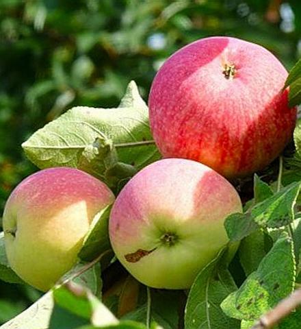 Яблоня домашняя Мелба (Мельба)