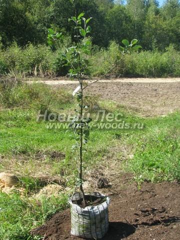 Саженцы плодового дерева Яблоня домашняя Мельба (Мелба) в нашем питомнике Сады Ясногорья (Тульская область, Ясногорский район)