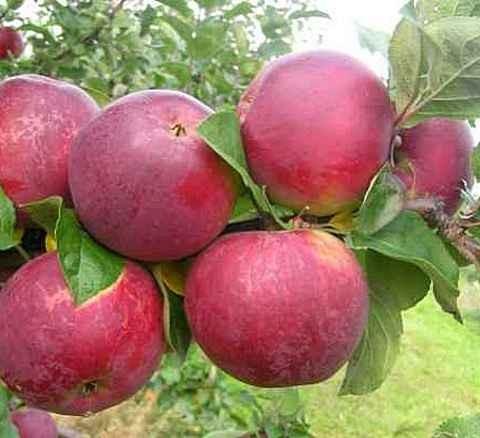 Яблоня домашняя Орлик