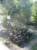 Саженцы и плодовые крупномерные деревья Яблоня домашняя Орлик