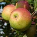 Плодовые крупномеры и саженцы Яблоня домашняя Орлинка