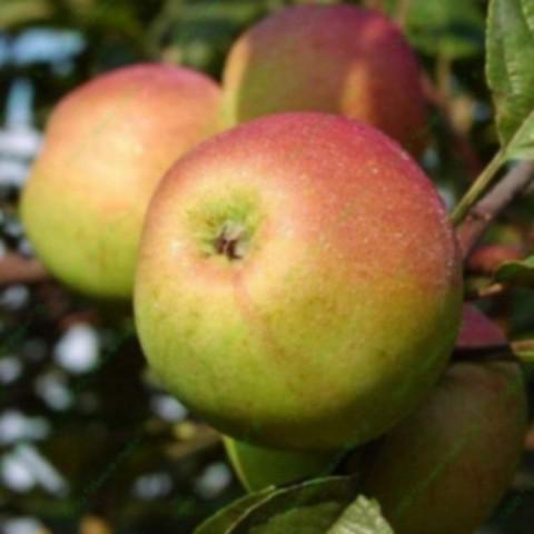 Яблоня домашняя Орлинка