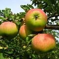 Плодовые крупномеры и саженцы Яблоня домашняя Орловим