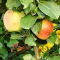 Плодовые крупномеры и саженцы Яблоня домашняя Орловское полосатое