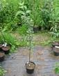 Саженцы и плодовые крупномерные деревья Яблоня домашняя Орловское полосатое