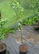 Саженцы и плодовые крупномерные деревья Яблоня домашняя Память воину