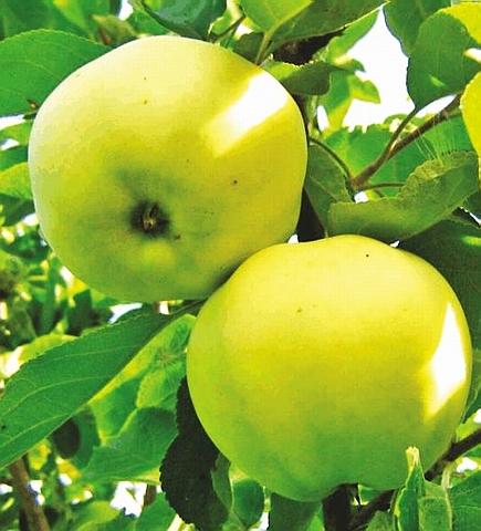 Яблоня домашняя Папировка (Белый налив)