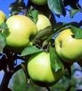 Плодовые крупномеры и саженцы Яблоня домашняя Россиянка