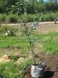 Саженцы и плодовые крупномерные деревья Яблоня домашняя Россиянка