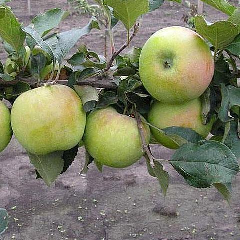 Яблоня домашняя Северный синап