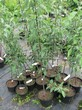 Саженцы и плодовые крупномерные деревья Яблоня домашняя Северный синап