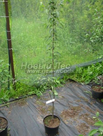 Деревья сорта Яблоня домашняя Северный синап на выставочной площадке в нашем питомнике растений «Сады Ясногорья» (Тульская область, Ясногорский район)
