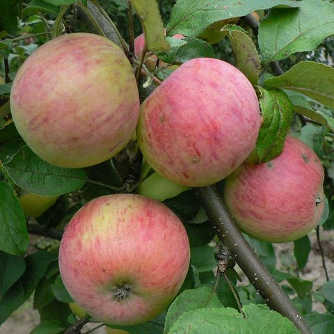 Яблоня домашняя Осеннее полосатое