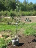 Саженцы и плодовые крупномерные деревья Яблоня домашняя Штрейфлинг (Штрифель, Осеннее полосатое)