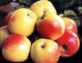 Плодовые крупномеры и саженцы Яблоня домашняя Синап орловский