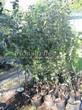 Саженцы и плодовые крупномерные деревья Яблоня домашняя Синап орловский