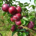 Плодовые крупномеры и саженцы Яблоня домашняя Спартан