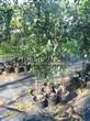 Саженцы и плодовые крупномерные деревья Яблоня домашняя Спартан