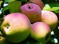 Плодовые крупномеры и саженцы Яблоня домашняя Ветеран