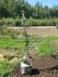 Саженцы и плодовые крупномерные деревья Яблоня домашняя Ветеран