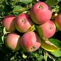 Плодовые крупномеры и саженцы Яблоня домашняя Вишнёвая (Вишнёвое)