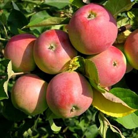 Яблоня домашняя Вишневая