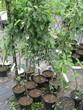 Саженцы и плодовые крупномерные деревья Яблоня домашняя Вишневая