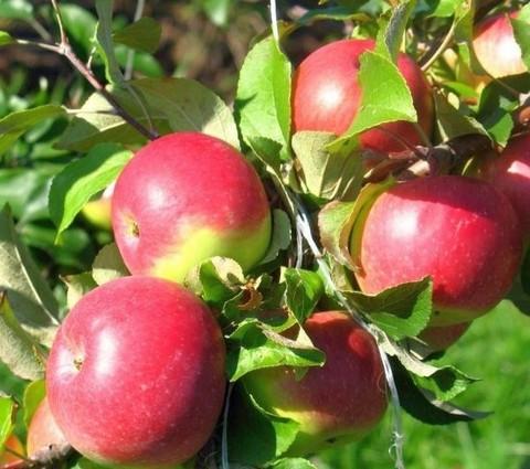 Яблоня домашняя Уэлси