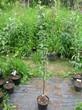 Саженцы и плодовые крупномерные деревья Яблоня домашняя Уэлси